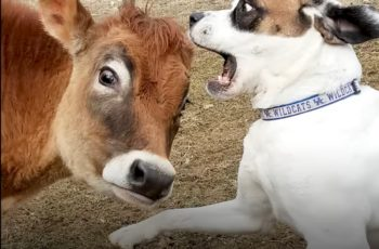 bouncy puppy and brown cow are best friends